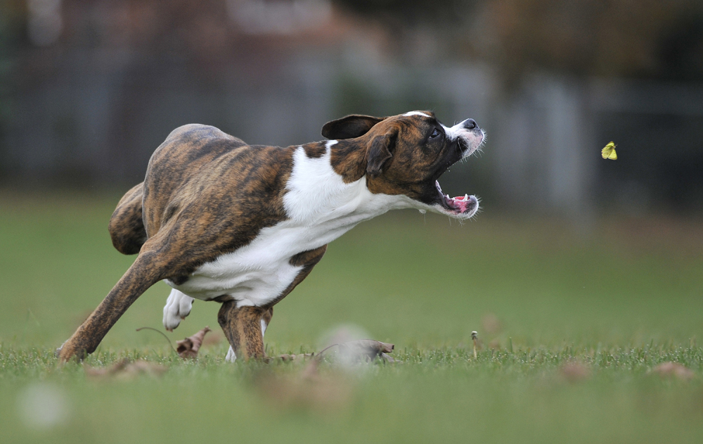 Out for her daily run, Lita, a seven month old Boxer becomes fixated on a butterfly (Mark Wanzel/Barrie Examiner)
