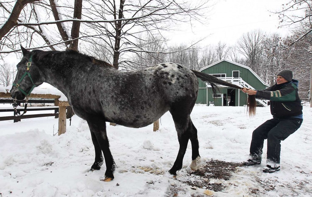 Sidonia McIntyre, an equestrian massage therapist works with her horse Oreo at her Kingsville, ON. home. The proper puling of the tail is part of the therapy (DAN JANISSE/The Windsor Star)